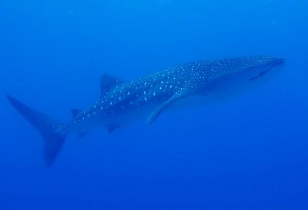 Philippines - Whaleshark