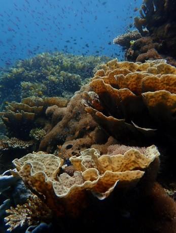 Philippines - Coral Gardens