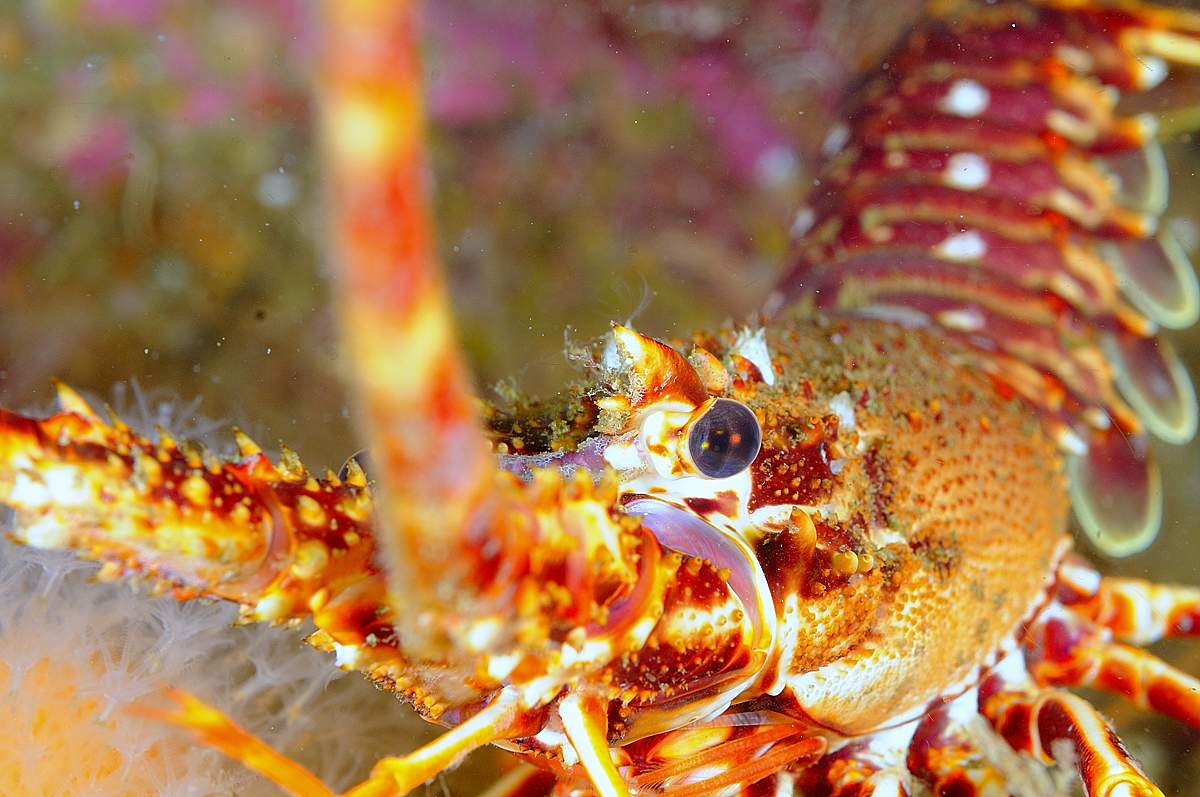 Scotland - Crawfish