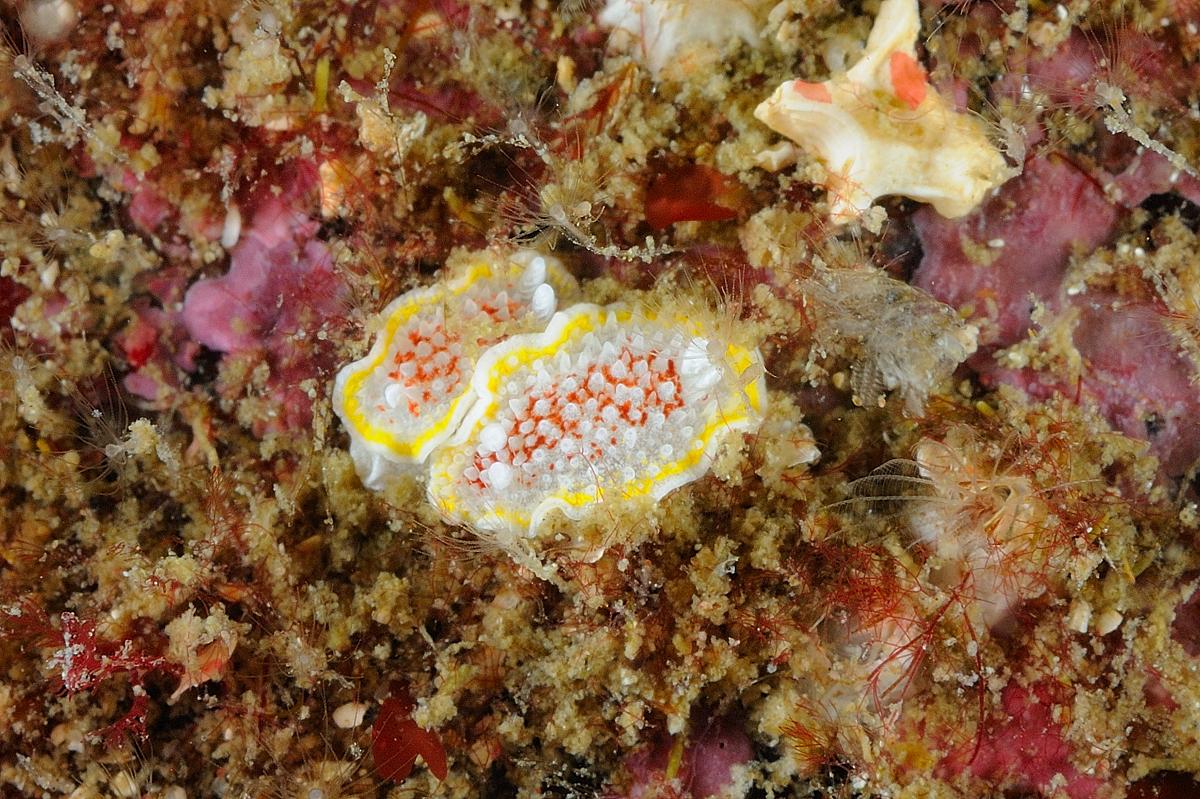 Scotland - Nudibranch